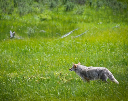 Coyote-Yellowstone-National-Park,-MT