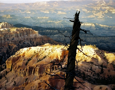 Weathered-Tree-Bryce-Canyon,-UT